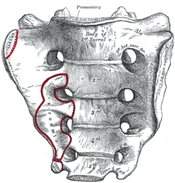 The iliacus and piriformis pictured here are in ipsilateral relationship. When the iliacus and piriformis are in contralateral relationship they create a functional X across the anterior surface of the sacrum.